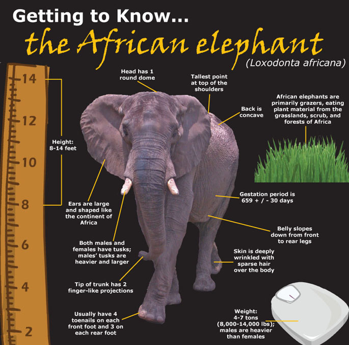 an examination and description of the african elephant The weird psychology of elephants  this study is the first examination of genetic components affecting individual  african elephant photo copyright.
