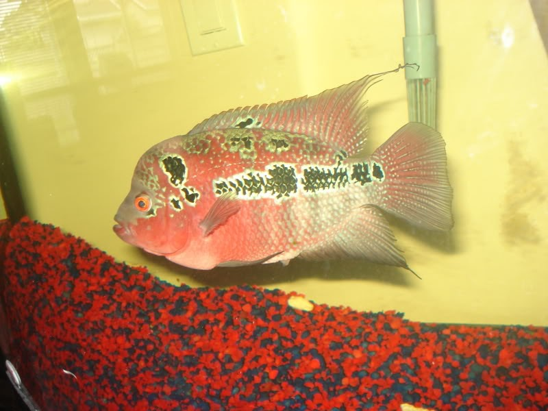 Flowerhorn fish craze seven easy ways of sexing your for Flower horn fish price