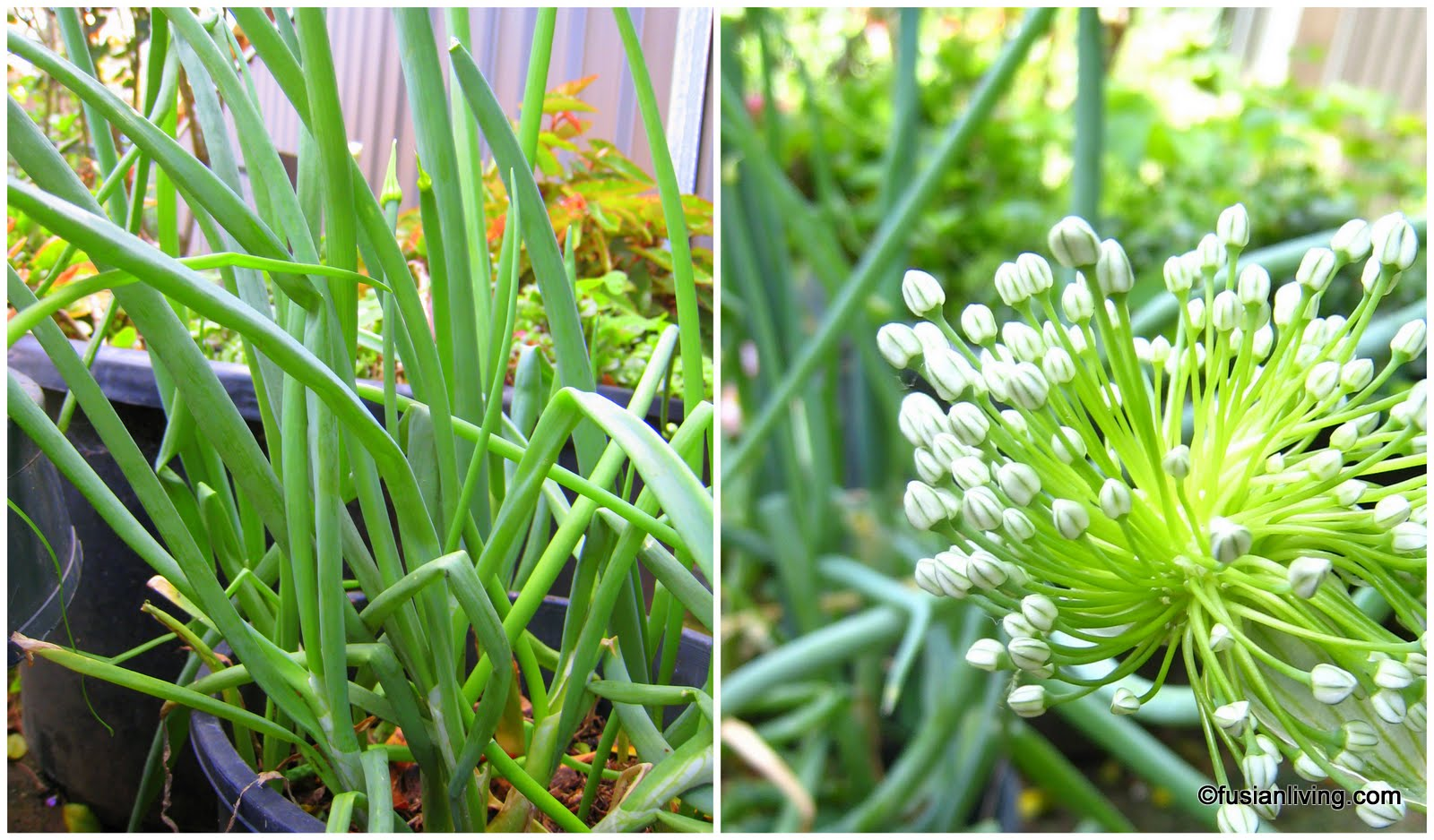 Easy Way To Grow Spring Onions Grow Your Own Veg Blog Gardening
