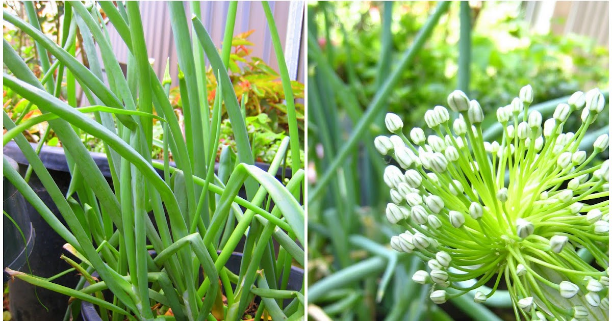 how to grow spring onions in pots