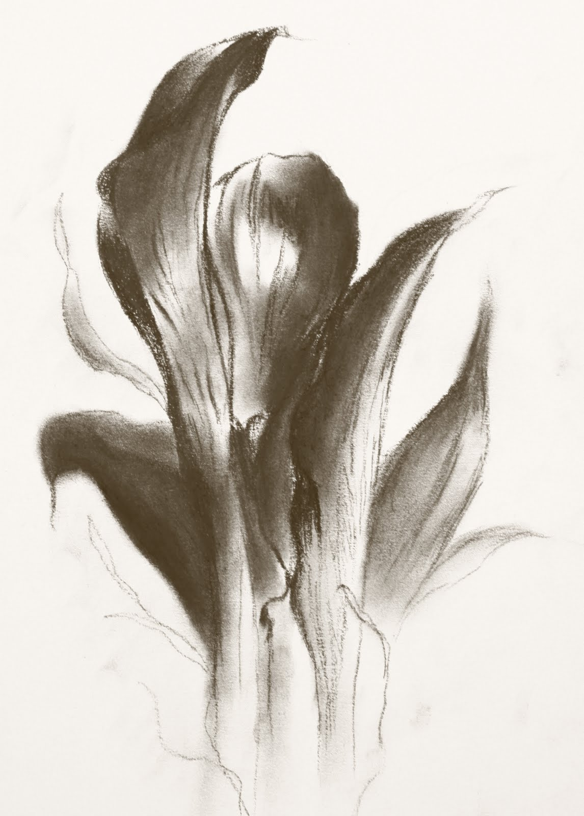 Calla Lily Drawing