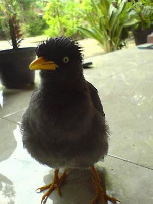 Inilah burung jalak pak budi yang lagi mejeng ....
