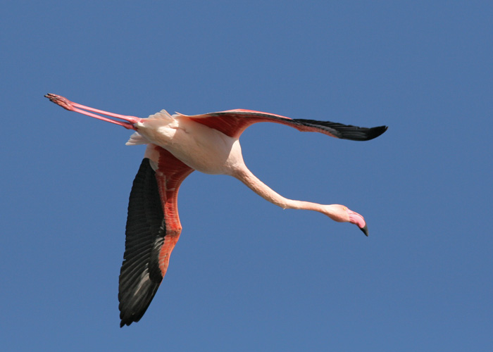 flying flamingoes ii by - photo #6