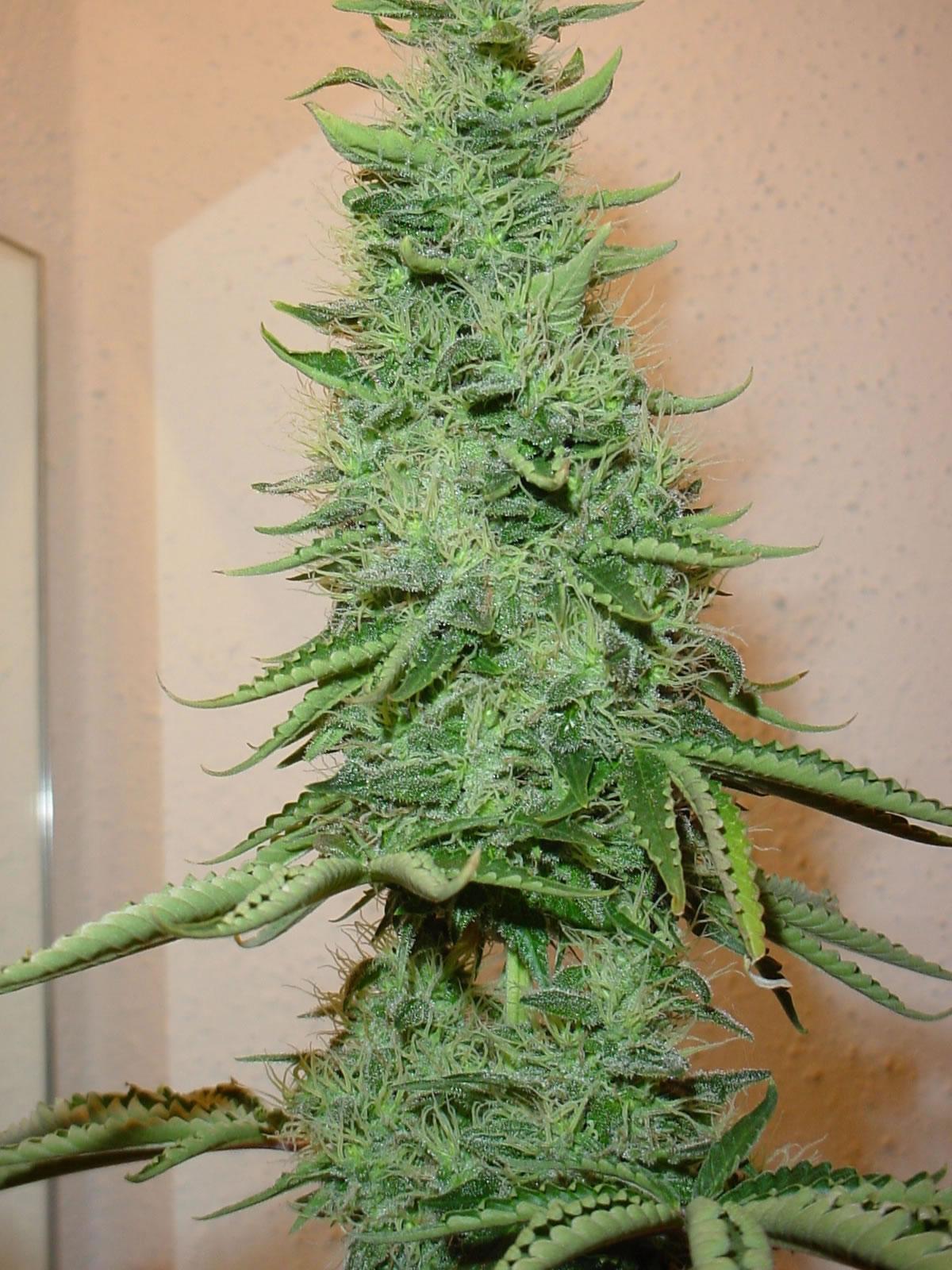 http://2.bp.blogspot.com/_Ykpc6yB8JCk/TG1OFI9mb3I/AAAAAAAAANQ/edk0lWkDX4E/s1600/big_bud_marijuana.jpg