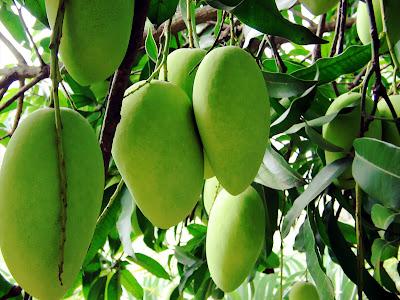 Saipan Mangoes