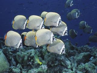 http://2.bp.blogspot.com/_Ym3du2sG3R4/S4ZclOyNrWI/AAAAAAAABPs/edQ3NafzJFo/s1600-h/butterfly+fish-wallpaper.jpg