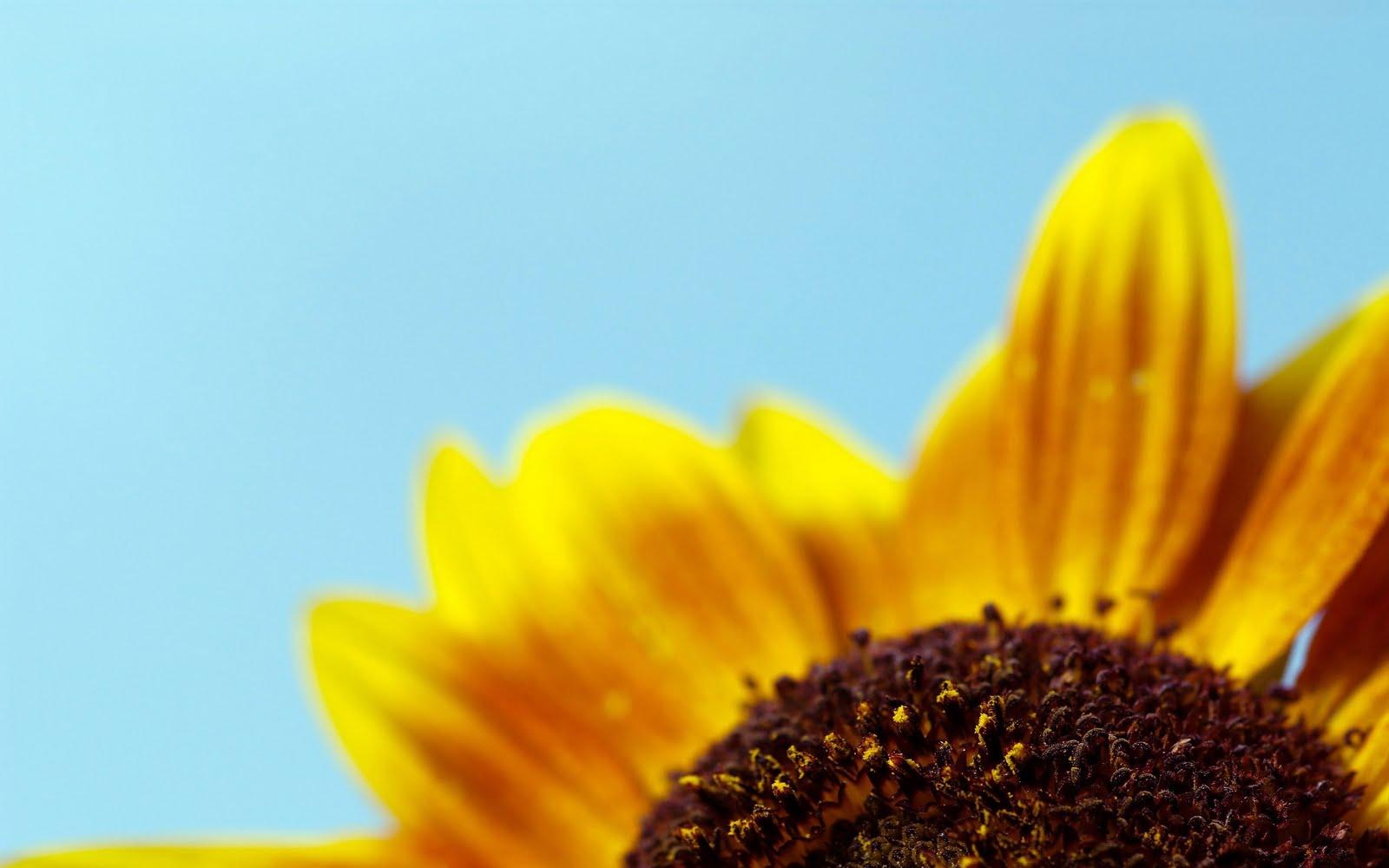 Wallpaper Best Size Sunflower Wallpaper