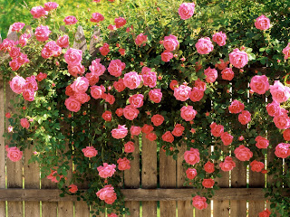 American Beauty Roses wallpaper