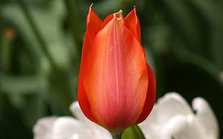Beautiful Red Tulips Wallpaper