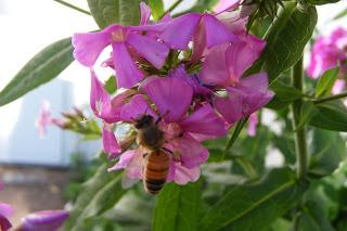 honey bee on phlox