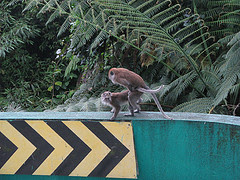 Mating monkeys
