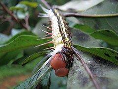 [yellowish_caterpillar_7.jpg]