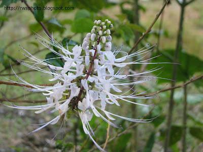 Bunga Misai Kuching - Orthosiphon stamineus