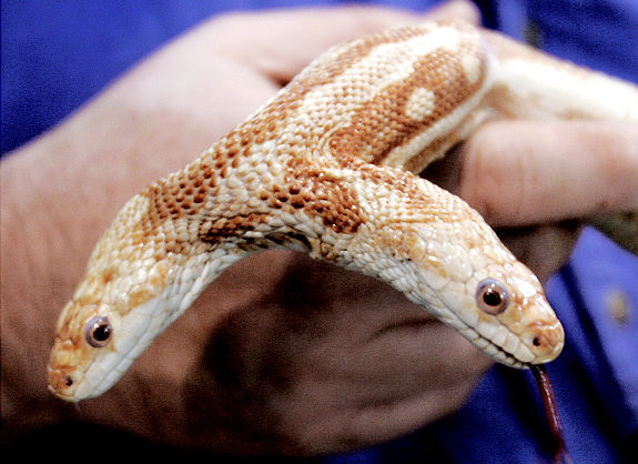 [animal_oddities_albino_rat_snake.jpg]