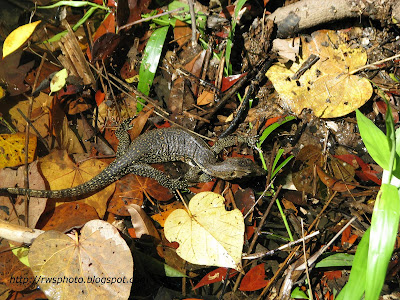 Water Lizard - Biawak Air