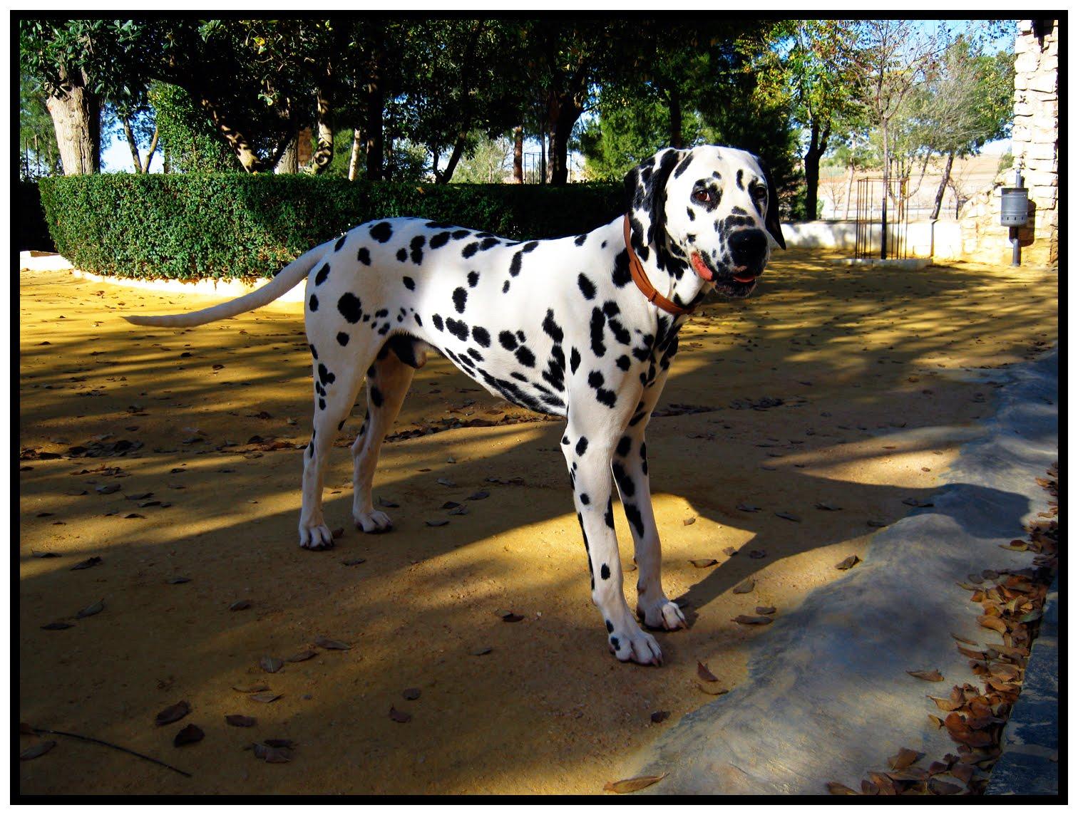 Retratos de la mancha patos en el estanque y un perro dalmata for Estanque para perros