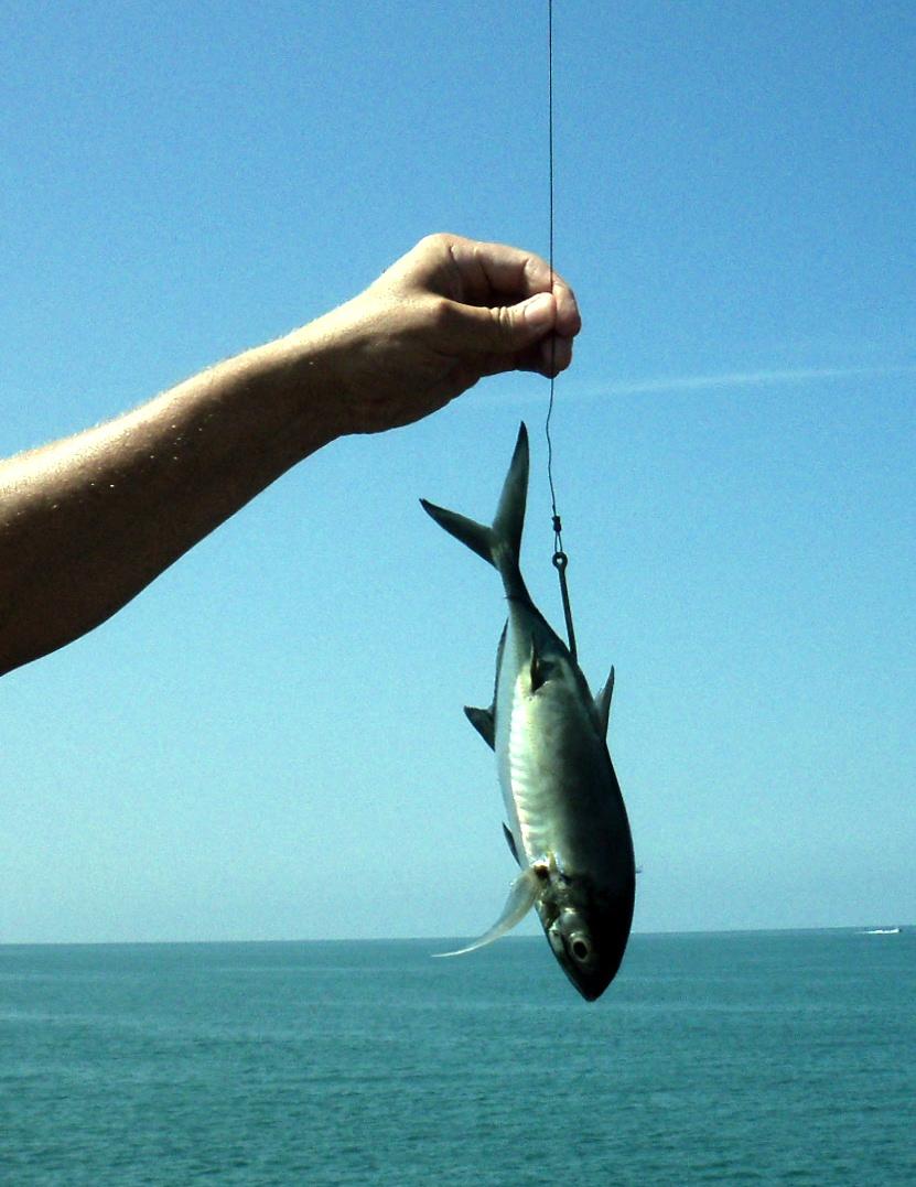Southwest florida shoreline studies fishing pier south of for Best bait for pier fishing