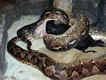 Anaconda traga un cerdo entero