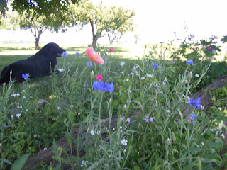 Otis and Wildflowers