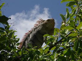 Gros Iguane sur Baradal