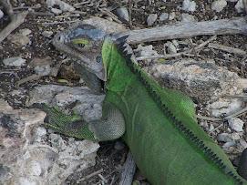 Iguane!