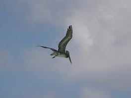 Un pelican!