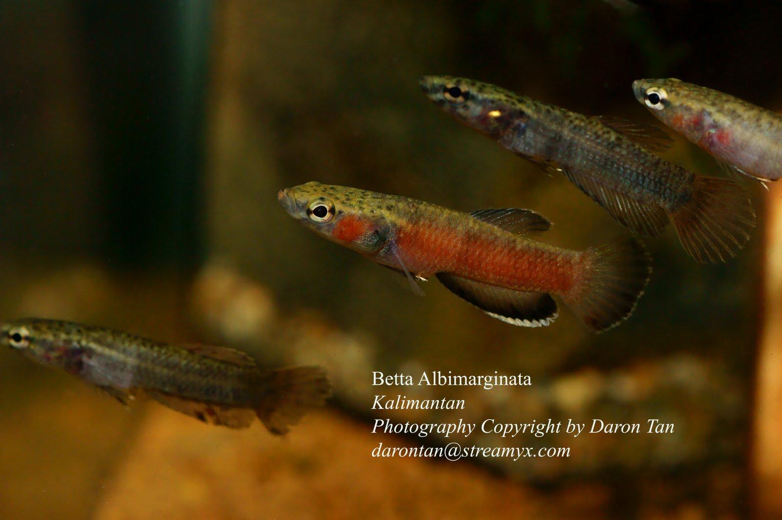 Borneo echo streams november 2009 for Wild betta fish