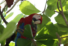 Guacamayo rojo