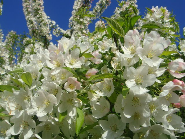 close up of crabapple tree blossoms photo by oystergirl
