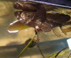 BUTTERFLY FISH - PANTODON BUCHHOLZI