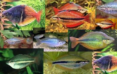 Rainbow Fish - Melanotaenia Trifasciata