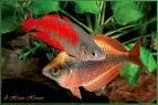 Rainbow Fish Melanotaenia