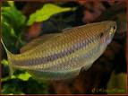 Melanotaenia Affinis - Rainbow Fish