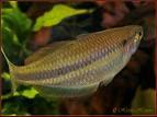 Melanotaenia Affinis - Rainbow Fish