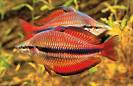 Red Rainbow Fish