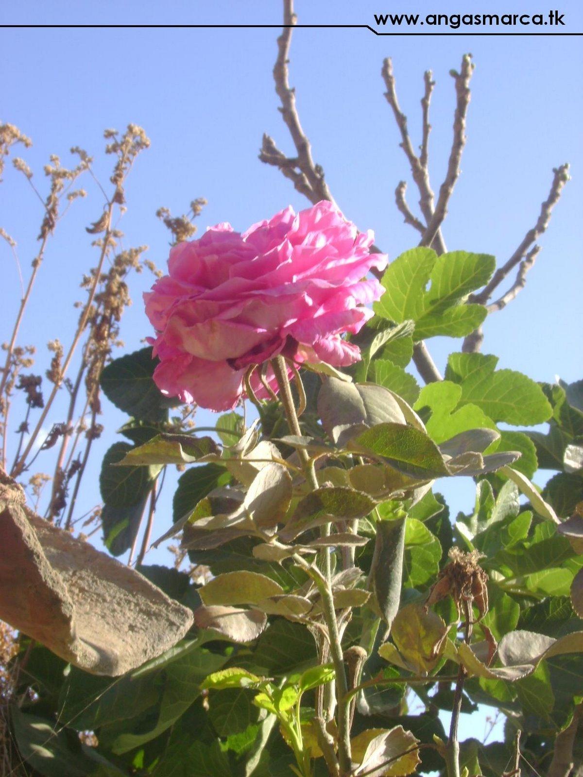 Rosa - Angasmarca