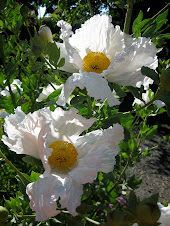 Romneya coulteri