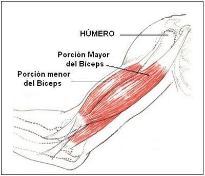 funcion musculo triceps: