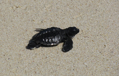 baby turtle released on Nusa Lembongan