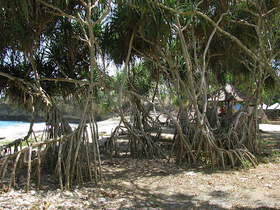 the walking trees of Nusa Lembongan