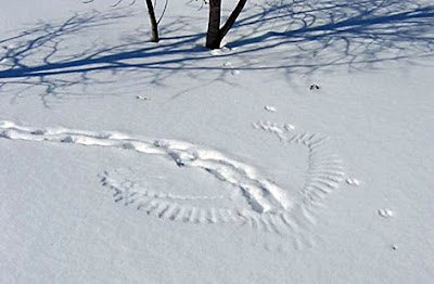 Photo of scene in snow where an owl hunted a rabbit