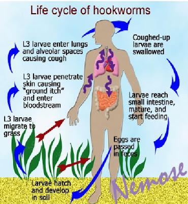 Las enfermedades cutáneas a los helmintos