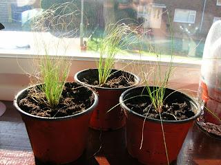 freebie grasses