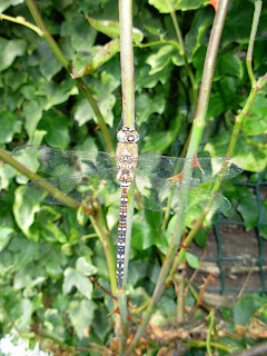 dragon fly damsel fly