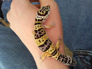 Leopard Gecko Guy
