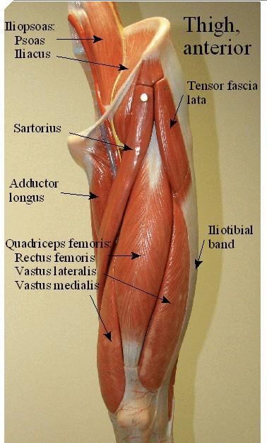 quadriceps femoris cat