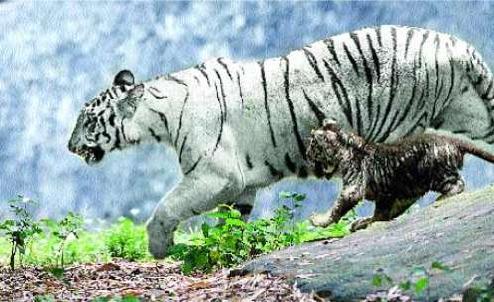 Un tigreau blanc devient noir !! Black+cub