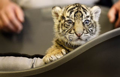 Cute tiger cub photos big cat rescue what is wrong with these photos is that the cub should be with her mother in the wild and not in captivity altavistaventures Images