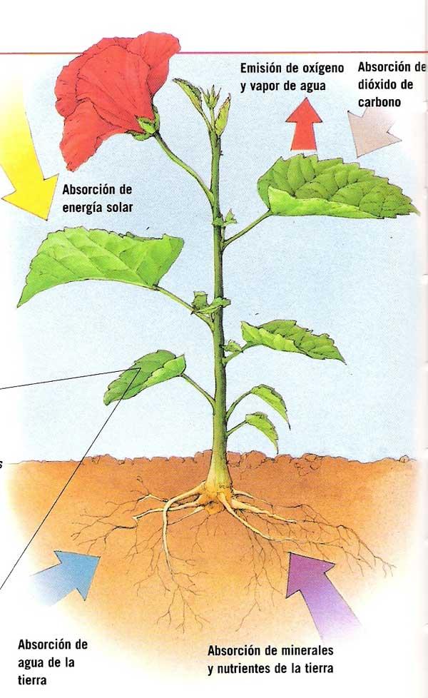 Alimentacion de las plantas analizar el mecanismo usado for Como obtiene su alimento un arbol