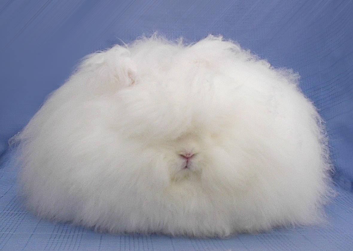 chinese angora rabbit - photo #23